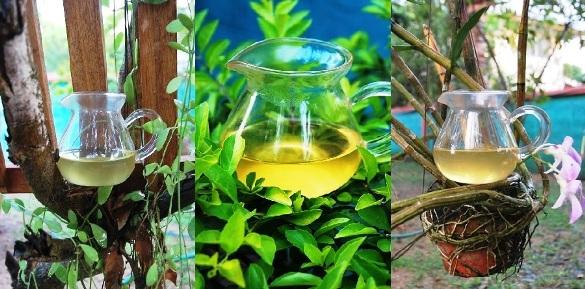 Wild Spring Long Jing Green Tea in my garden