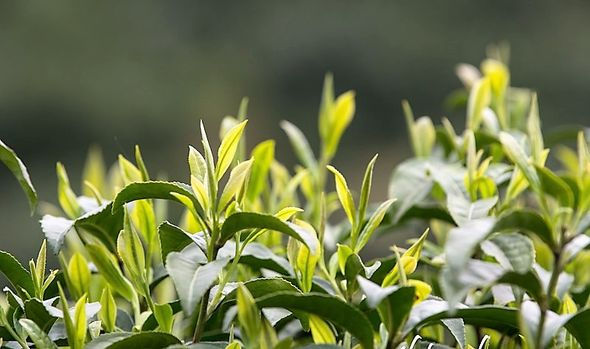 Keemun / Mao Feng tea plants in Qimen county in spring, ready for picking