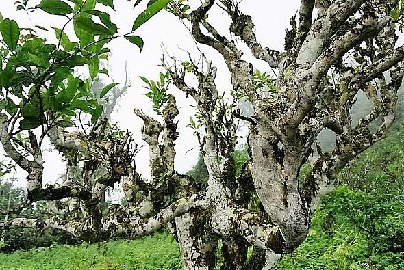 "Ancient ""Thuyet Shan"" (""Snow High Mountain"") tea tree in Ha Giang province, Vietnam"