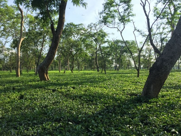 Organic tea farming at Doke Tea Garden, Bihar, India