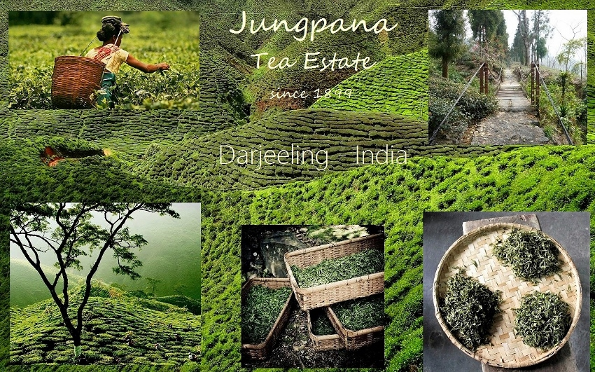 Darjeeling tea - Jungpana Tea Garden / Jungpana Tea Estate : Jungpana First Flush