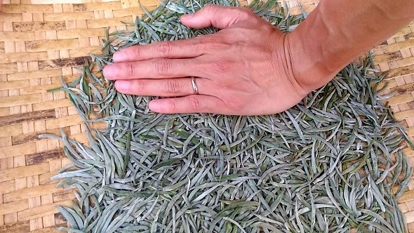 Freshly picked pure tea buds from tea trees in Xiengkhouang, eastern Laos