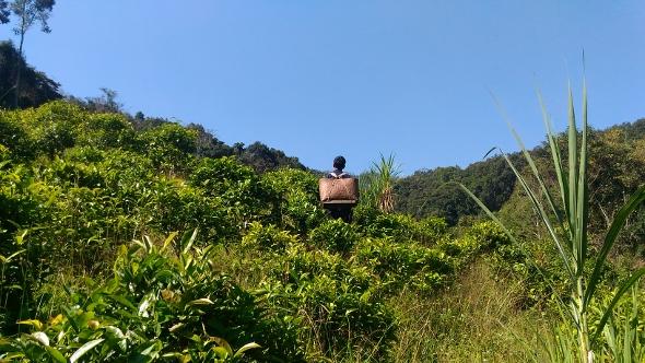 Biodiverse Kinnari tea garden, Xiengkhouang, Laos